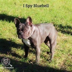 Bluebell 1-min