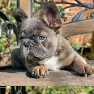 Fluffy Frenchies